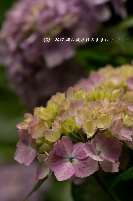 京都・丹州観音寺 あじさいの花8
