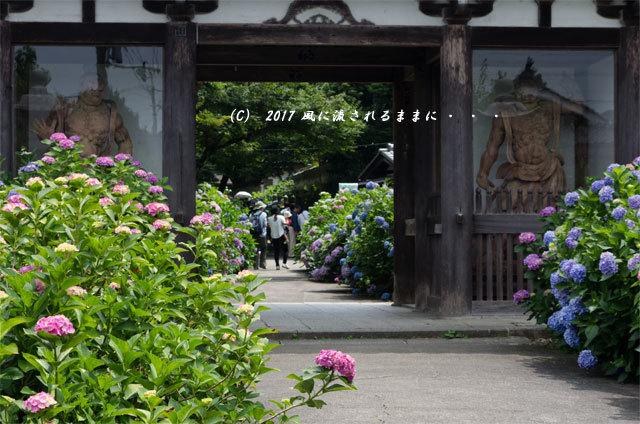 京都・丹州観音寺 あじさいの花2