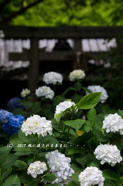 京都・丹州観音寺 あじさいの花5