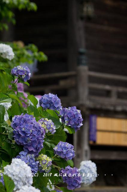 京都・丹州観音寺 あじさいの花6