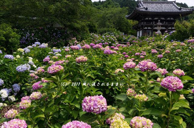 京都・丹州観音寺 あじさいの花1
