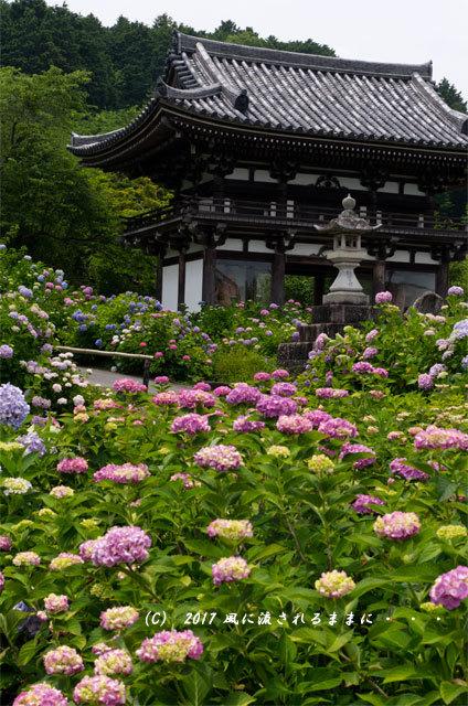 京都・丹州観音寺 あじさいの花15