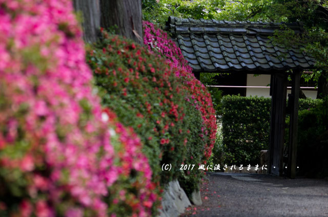 滋賀・雲迎寺(さつき寺) サツキの花 6月3日撮影11