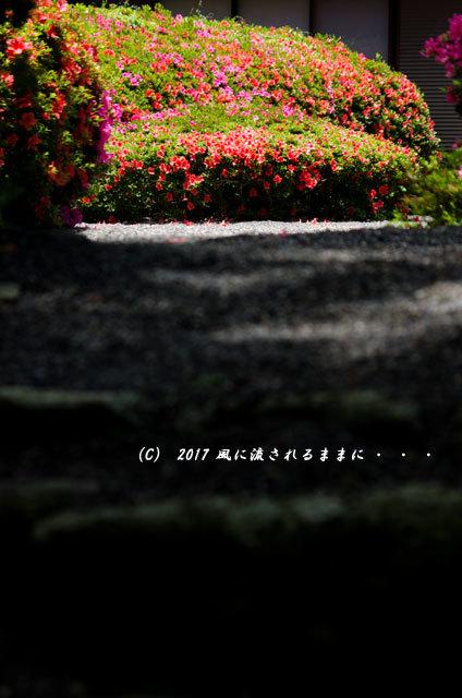 滋賀・雲迎寺(さつき寺) サツキの花 6月3日撮影8