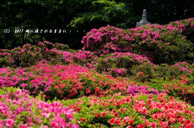 滋賀・雲迎寺(さつき寺) サツキの花 6月3日撮影9