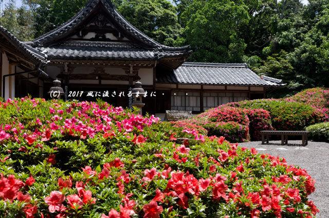 滋賀・雲迎寺(さつき寺) サツキの花 6月3日撮影2