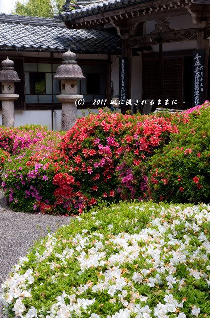 滋賀・雲迎寺(さつき寺) サツキの花 6月3日撮影5