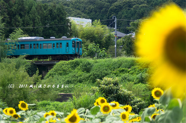 奈良・五條市上野町 ひまわり園 ひまわりと列車1