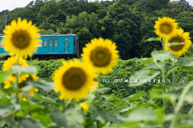 奈良・五條市上野町 ひまわり園 ひまわりと列車3