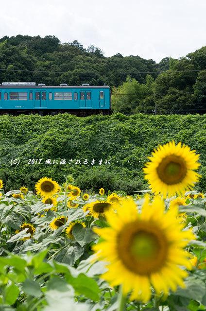 奈良・五條市上野町 ひまわり園 ひまわりと列車4