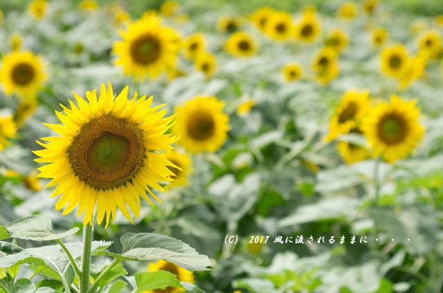奈良・五條市上野町 ひまわり園 ひまわりと列車5