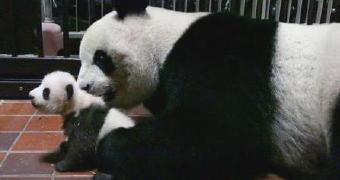 4151-340パンダ
