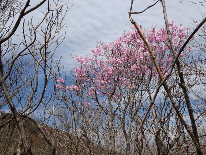 荒山高原のアカヤシオ2