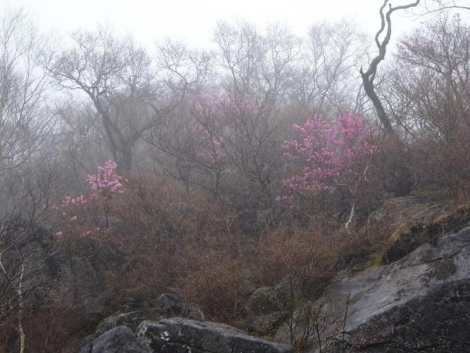 篭山のアカヤシオ1