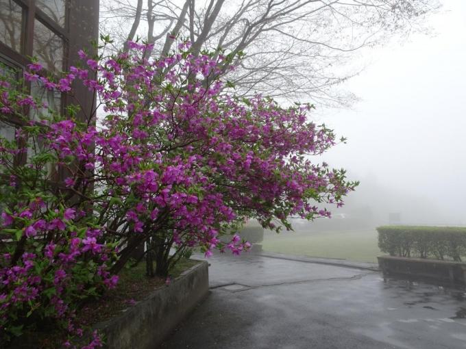 木の家に咲くミツバツツジ