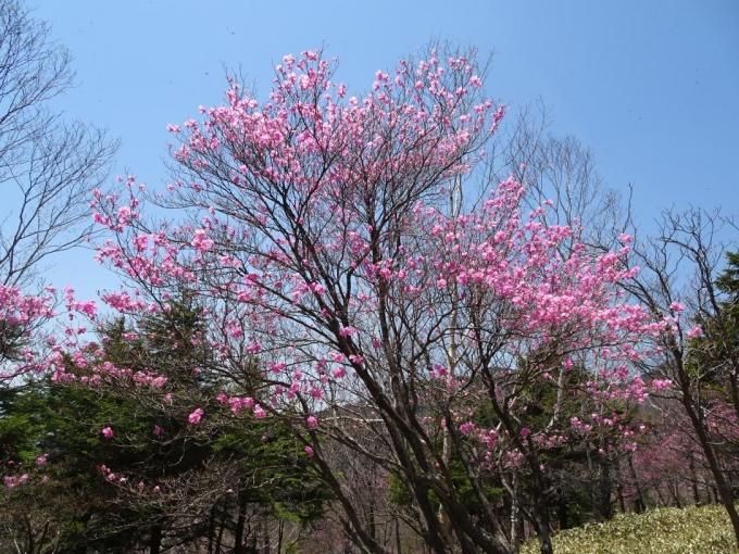 アカヤシオの古木