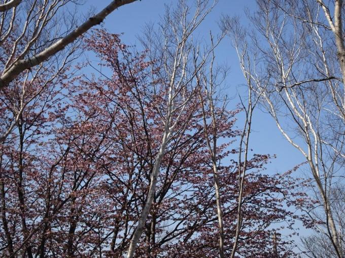 荒山山頂下の桜