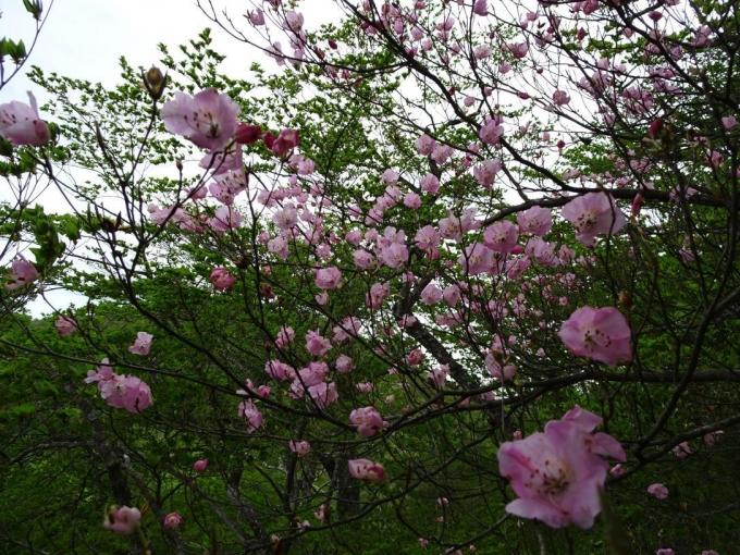 遅咲きのアカヤシオ