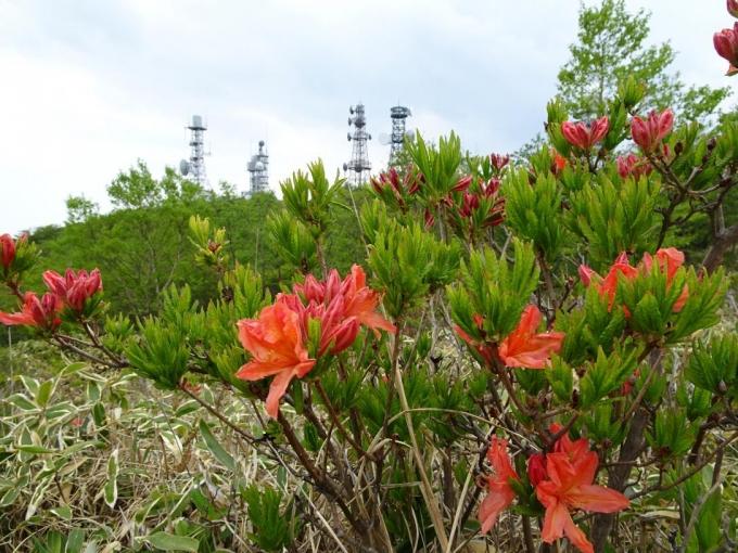 咲きたてのレンゲツツジとアンテナ群