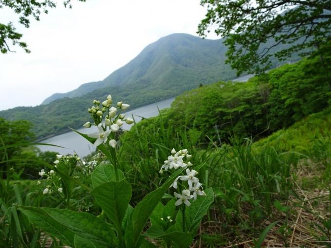 クサタチバナと黒檜山