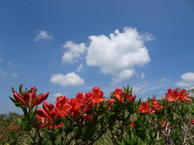 レンゲツツジと白い雲