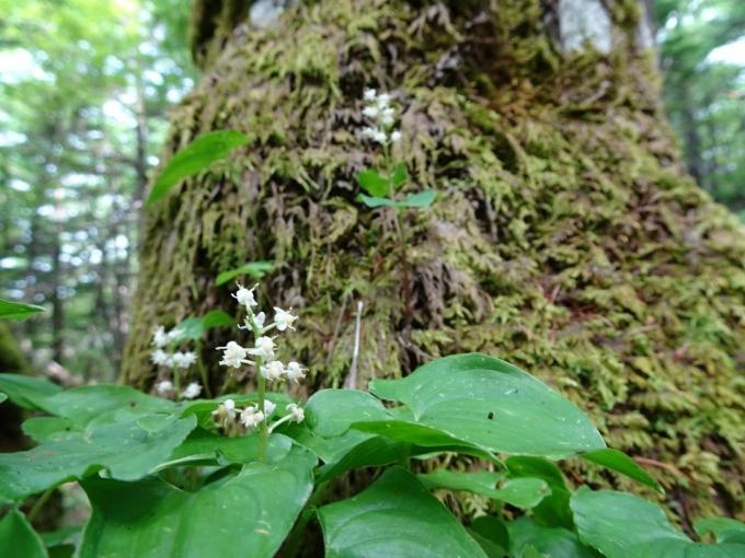 苔の上のマイヅルソウ