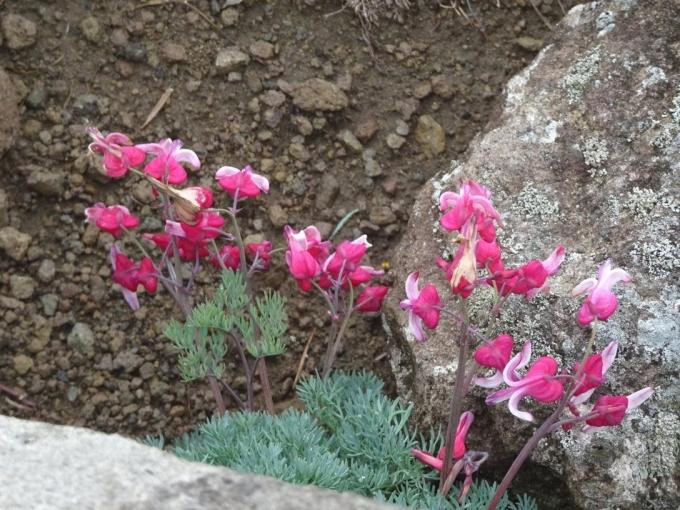 鞍部に咲くコマクサ