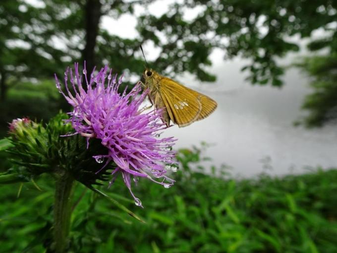 アザミに蝶オオチャバネセセリ