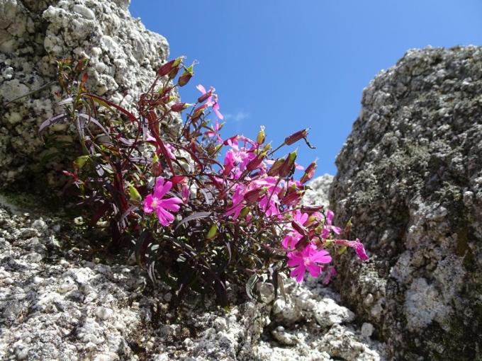 岩の間に咲くビランジ