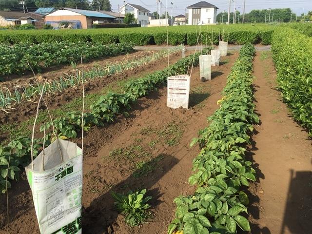 カボチャの定植:そのうちにジャガイモはなくなる