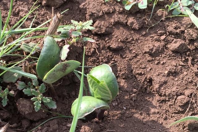 大豆の発芽