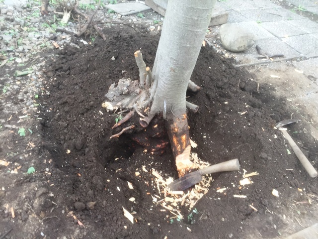 ビワの木の根を切っているところ