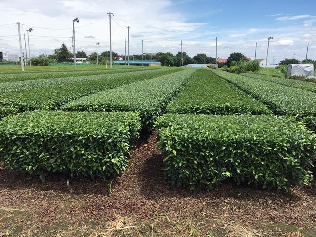 ツートンカラーの茶畑