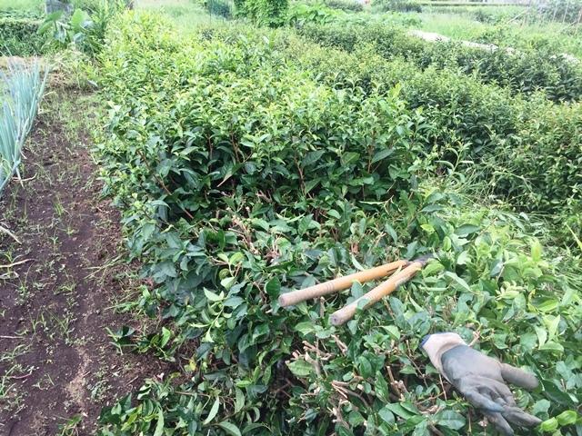 茶ノ木の刈り込み途中