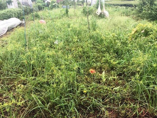 刈り込み前のスイカ畑