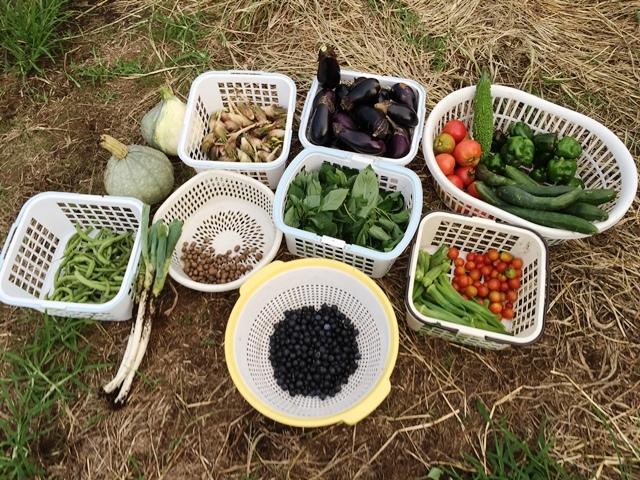 今日の収穫:二日開けたので大量だ