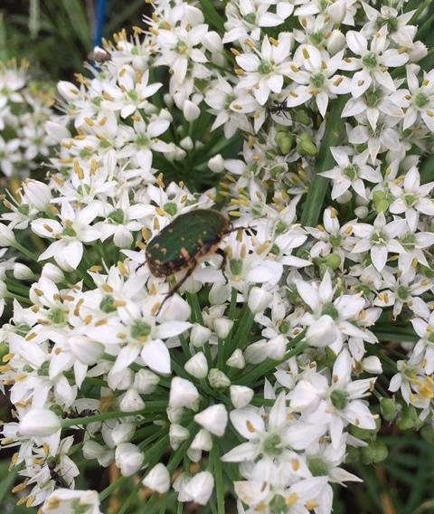 ニラの花にコガネムシ