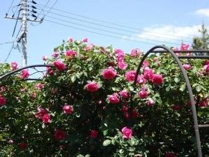 赤ピンクのバラ1