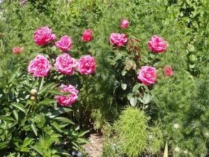 赤ピンクのバラ