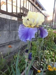 ジャーマンアイリス紫