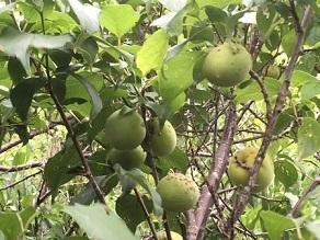 IMG_1210梅の木の梅65