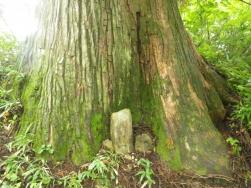 御田の大杉