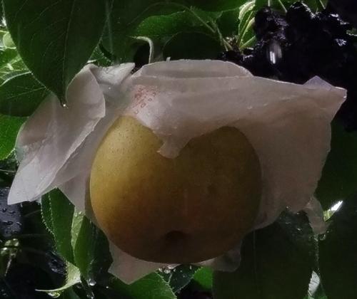 20170912木になる梨