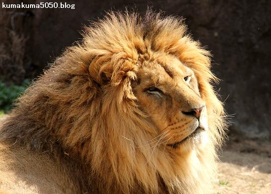 ライオン_1640
