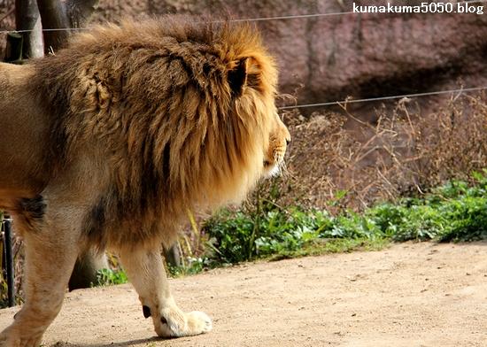 ライオン_1651