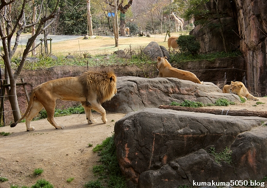 ライオン_1652