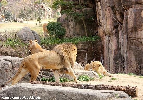 ライオン_1653