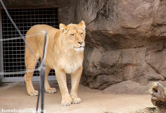 ライオン_1667
