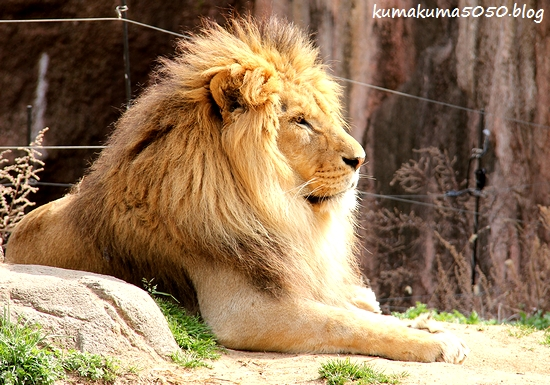 ライオン_1670