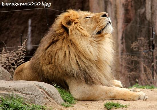 ライオン_1679